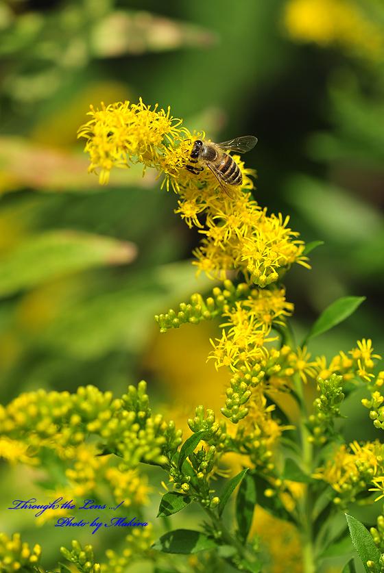 セイタカアワダチソウとミツバチ1