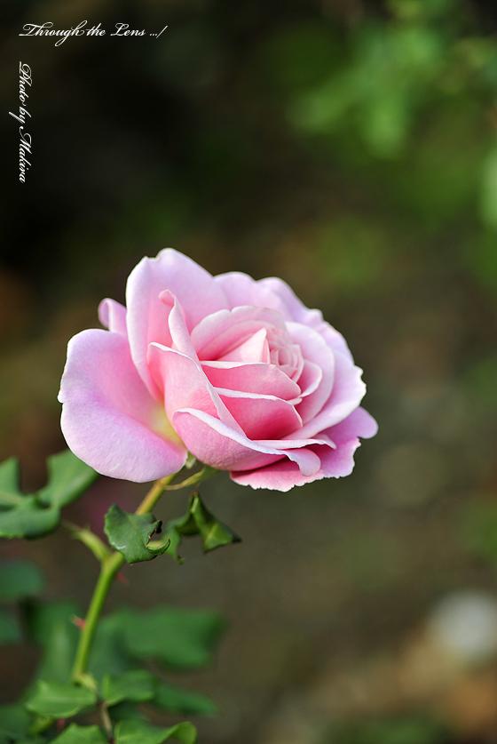 ピンク フレンチレース(日)3