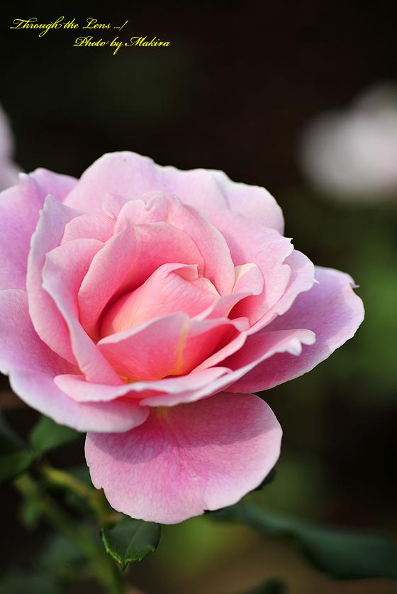 ピンク フレンチレース(日)2