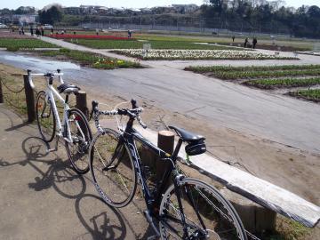 自転車とチューリップ