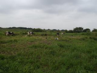 サイクリングロード脇には牛
