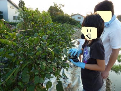 今度は茄子の収穫