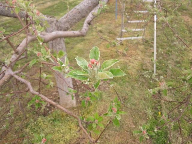 リンゴ摘花前