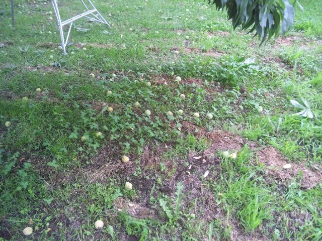 摘果後木の下
