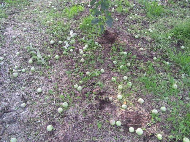 リンゴ摘果1