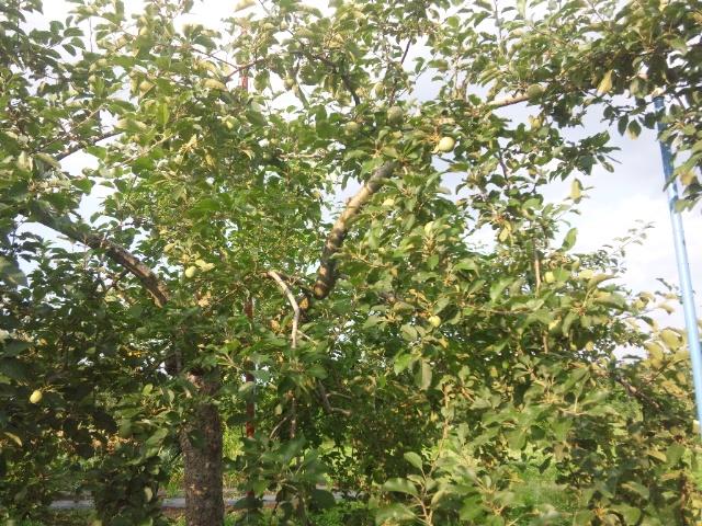 リンゴ摘果3