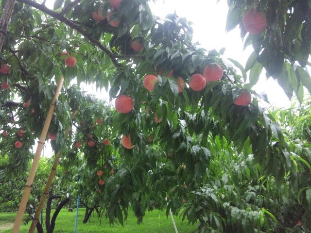 雨の中で収穫1