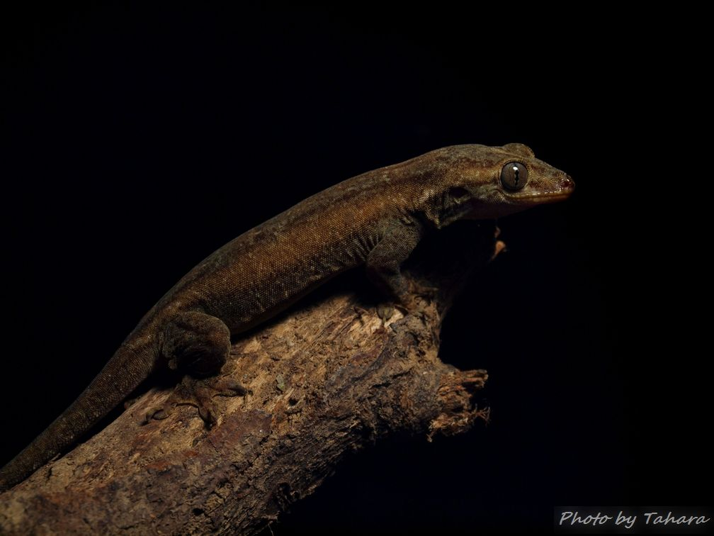 Gehyra sp.