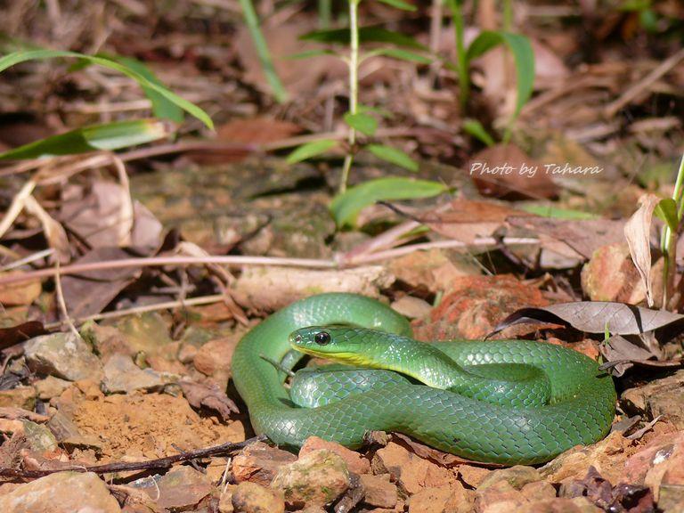 タイワンアオヘビ