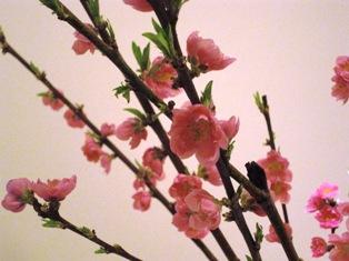 桃の花 001