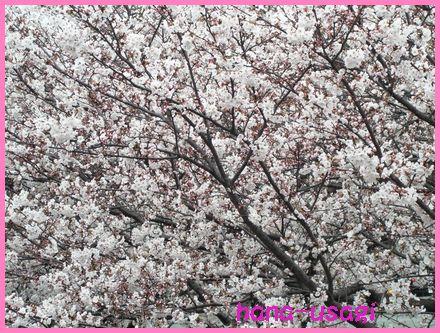 お花見 01