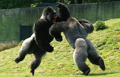 mountain gorilla championshipre