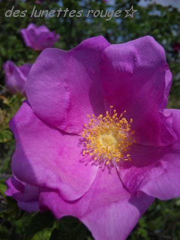 2011 rose ... ?