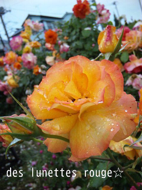 2011 rose