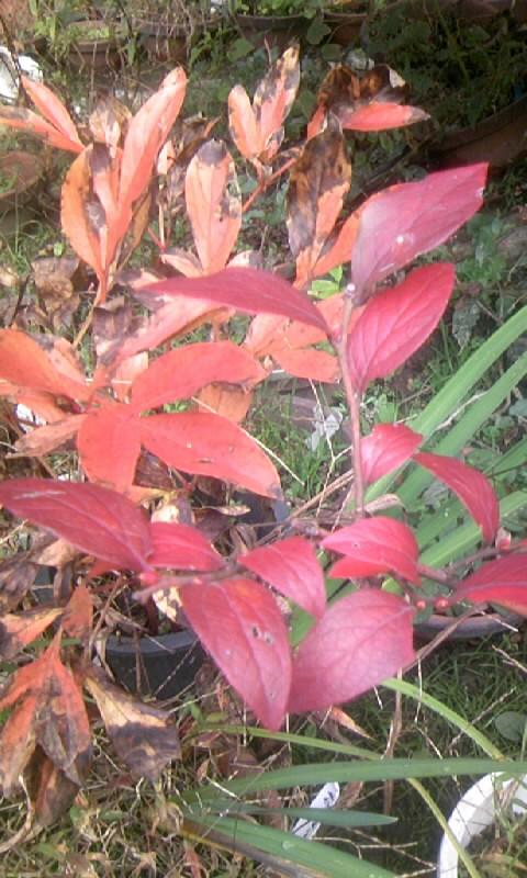 091114_124508ブルーベリーの紅葉