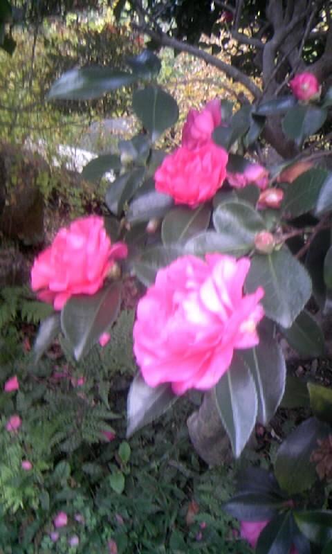 091122_074023山茶花