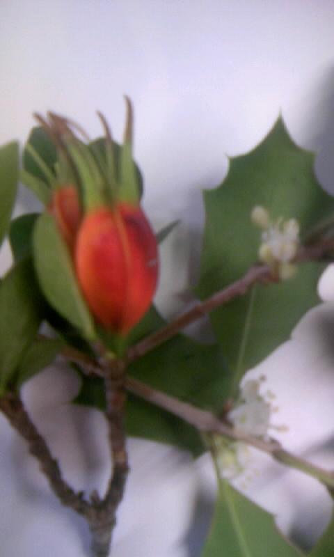 091122_100123ヒイラギの花