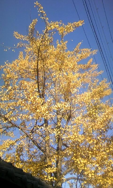 091123_154159檀那寺のイチョウの黄葉