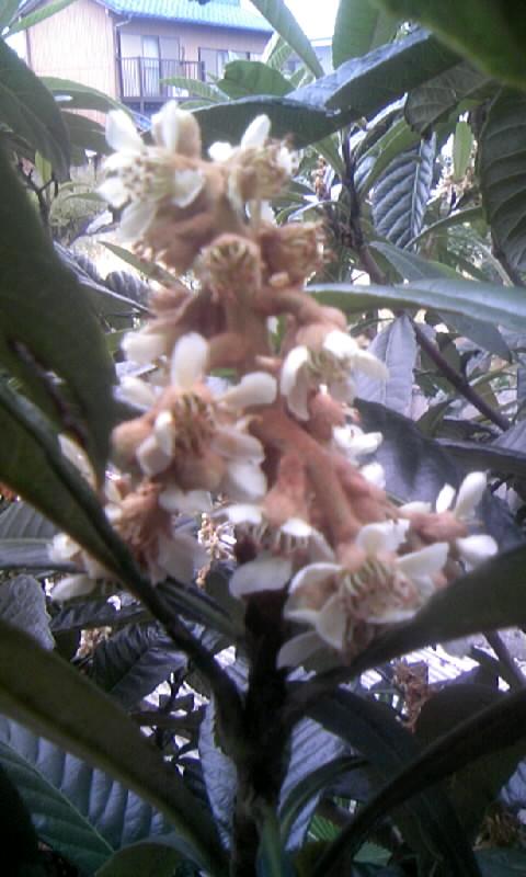 091124_155844枇杷の花