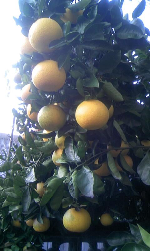 091126_075233柑橘