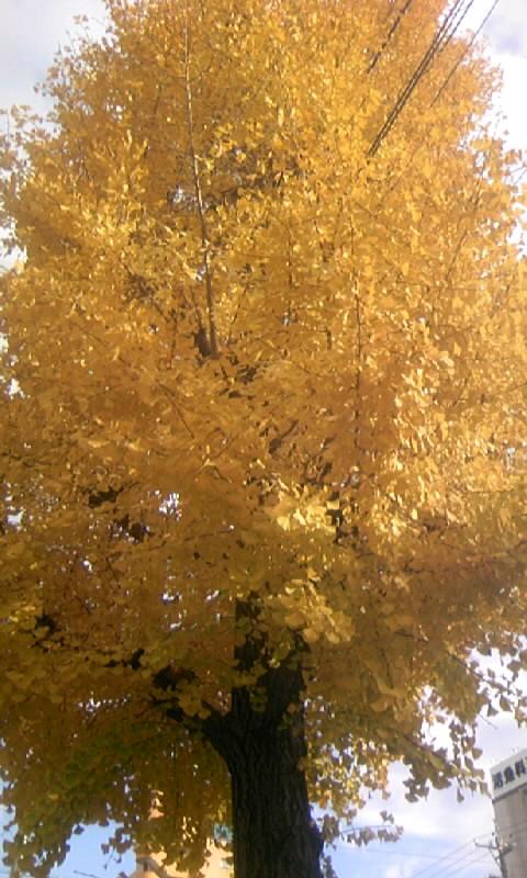 091201_142230銀杏の黄葉