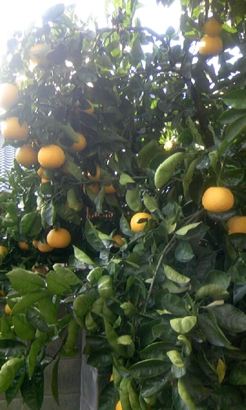 091206_090748柑橘