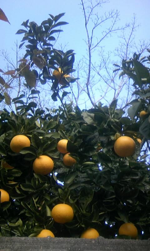 091231_104137柑橘