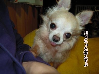 チワワ軍団アップ22-4-20126