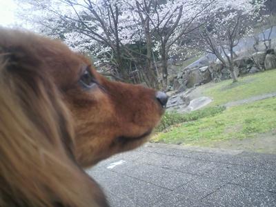 クピド桜クピド桜1P1020026