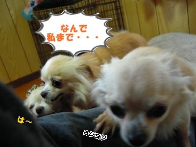 ホップちわわ22-5-2012