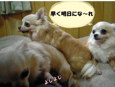 ホップちわわ22-5-2010