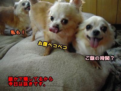ホップちわわ22-5-2007