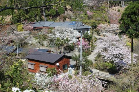2011年桜1