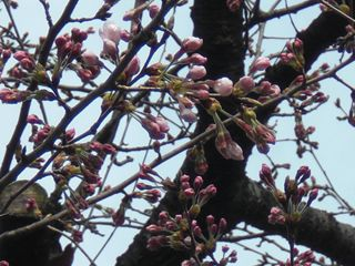 伊勢山の桜 003_R