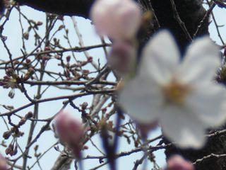 伊勢山の桜 005_R
