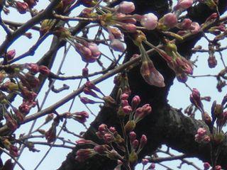 伊勢山の桜 004_R