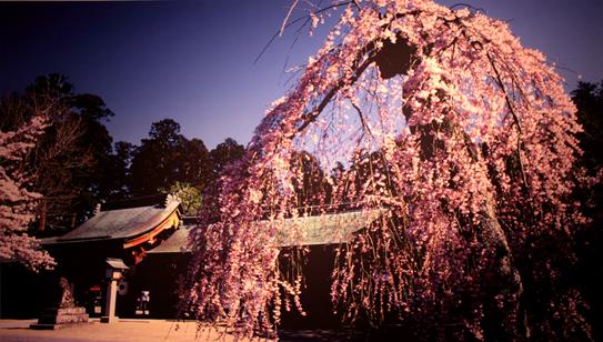 ギャラリー・花の桜と美風景・3