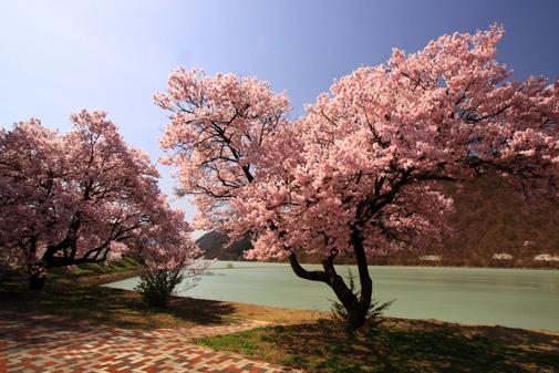 美和ダム湖の桜