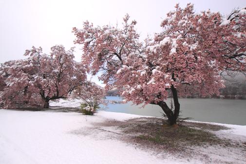 IMG_3845.・ダム湖の桜に雪TIF