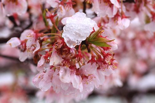 桜に雪・1