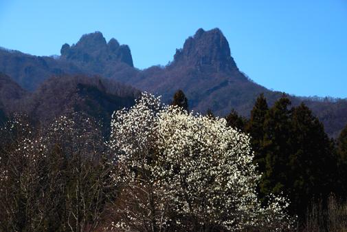 コブシと妙義山