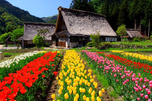 花咲く五箇山集落