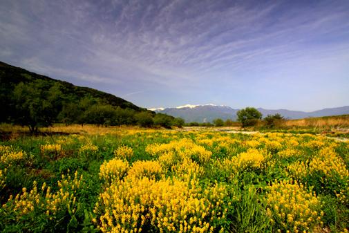 黄色の花咲く三峰川から中央アルプス