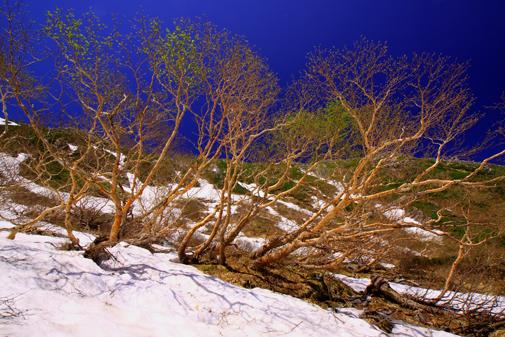 6月24日・芽吹く岳樺林