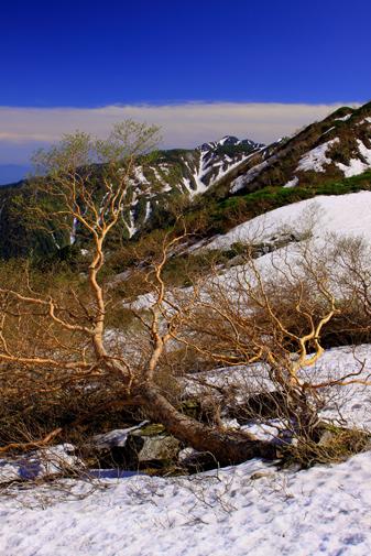 6月24日・芽吹く岳樺と空木岳タテ