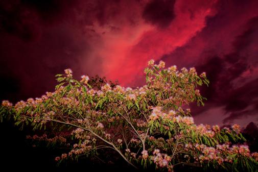 ギャラリーの合歓の花と夕焼け雲