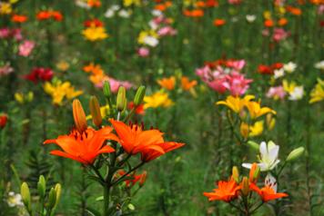色とりどりのユリの花