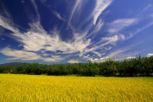 29・青空に巻き雲わくりんご園と稲穂