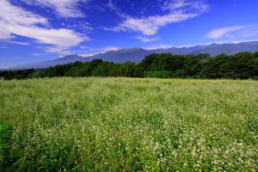 そば畑と中央アルプス