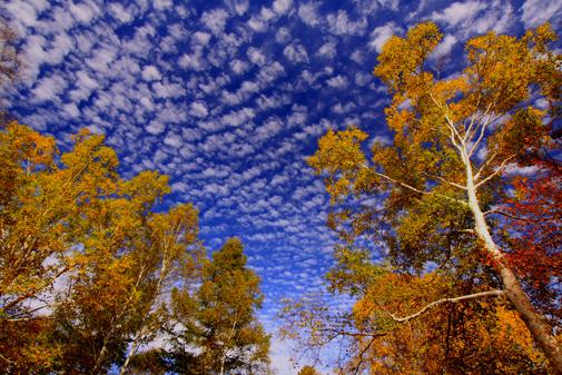 紅葉とウロコ雲